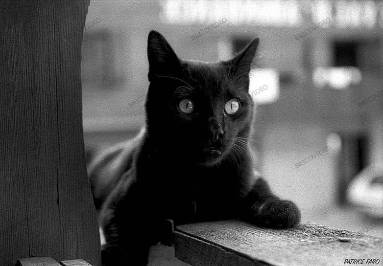 cat noir et blanc 1975 patrice faro